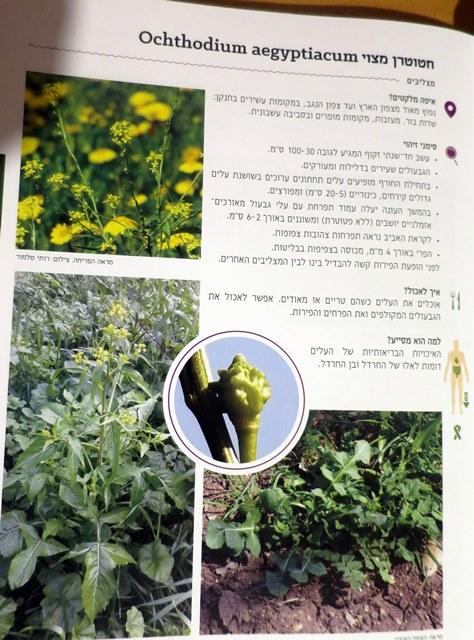 עמוד מהספר ג'וטי-ברקוביץ-בודן, א., 2017: הטעם שבטבע - המדריך המקצועי לליקוט צמחי בר למאכל ולמרפא בישראל. הטעם שבטבע.