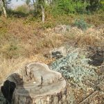 גדמים של עצי אקליפטוס שנכרתו. צילמה: דבורה שיצר©