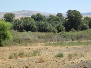 מלחה, חורשת תמרים ואקליפטוסים מיוחדת במזרח השקע בין המג'רסה לזאכי. צילמה: דבורה שיצר©