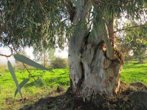 עץ אקליפטוס בעלי קוטר גזע העולה על 1 מ'. צילמה: דבורה שיצר©