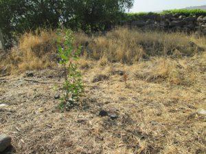 """אקליפטוס המקור- עץ בקוטר עד 10 ס""""מ. צילמה: דבורה שיצר©"""