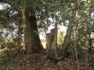"""אקליפטוס המקור - עצים בקוטר עד 10 ס""""מ ותגובה לכריתה. צילמה: דבורה שיצר©"""