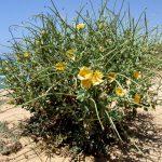 פרגה צהובה. צילמה: שרה גולד ©, באדיבות אתר צמח השדה