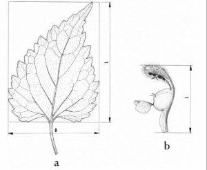 פרח ועלה האופייניים למיני הסוג נזמית. מתוך המונוגרפיה של מנמה (Mennema, 1989)