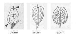 מבנה הפרי בחופניים, דו-כנף ושחליים: בחופניים ובדו-כנף מכילה כל מגורה זרעים אחדים; בשחליים בכל מגורה זרע בודד. מתוך Rothmaler 1987