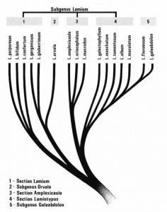 העץ הפילוגנטי בסוג נזמית. מתוך המונוגרפיה של מנמה (Mennema, 1989)