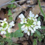 חופניים הרריים Thlaspi microstylum - צמח הגדל בחרמון ההררי