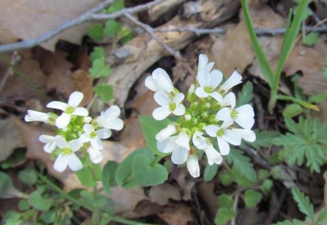 Read more about the article חופניים הרריים Thlaspi microstylum – צמח הגדל בחרמון ההררי
