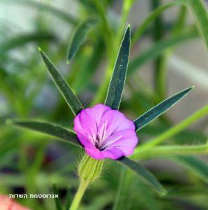 אגרוסטמת השדות. צילמה: ערגה אלוני©