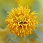 פרגה צהובה. צילמה: ערגה אלוני©