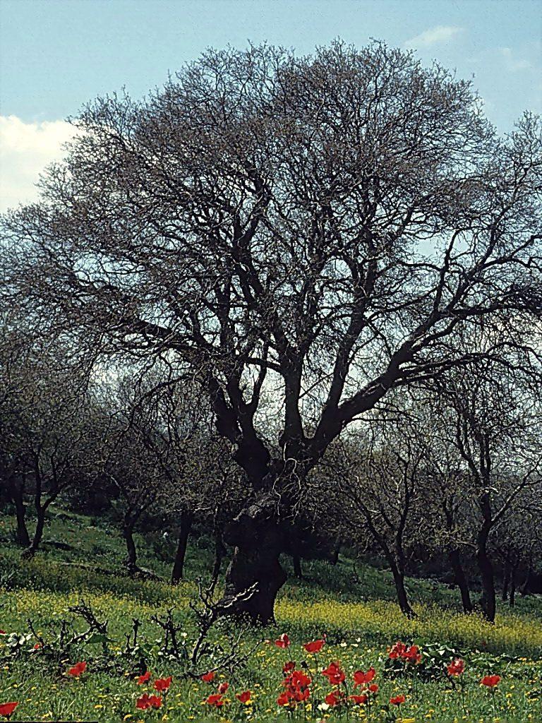 עץ אלון התבור שניצל מהכריתה בימי מלחמת העולם הראשונה, ליד עצים שהתחדשו מאז.צולם ליד בסמת-טבעון ב- 1960 לערך. העץ נכרת מאז. צילם: עוזי פז©