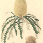 בנקסיה Banksia speciosa – איור של Ferdinand Bauer , מקור: Natural History Museum, UK