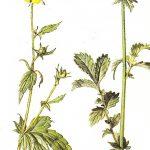 זנבן (גיאון) לעומת אבגר (Agrimonia), מתוך:Streeter, 2009