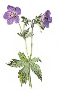 גרניון האחו Geranium pratense. מתוך: Schauer, 1982
