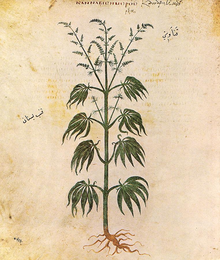 איור של Cannabis sativa מתוך ספרו של Dioscorides