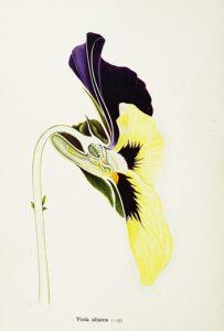 פרח של סיגל Viola altaica – איור של Arthur Harry Church