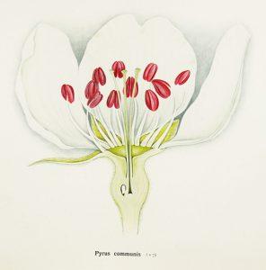 פרח אגס תרבותי Pyrus communis – איור של Arthur Harry Church