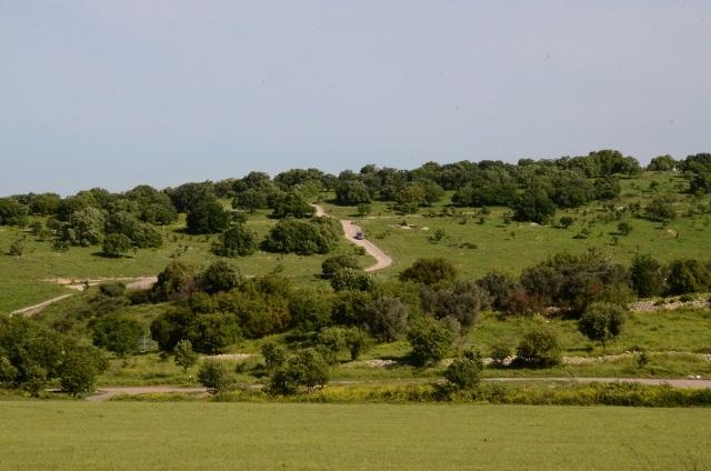 יער מתחדש של אלון התבור עם עצים בגילים שונים ממערב לגלעד. צילם: עוזי פז©