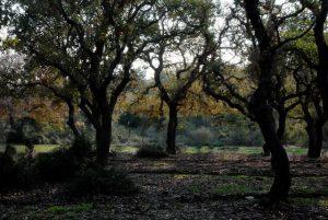 יער אלון התבור בשלכת בהר חורשן. צילם: עוזי פז©