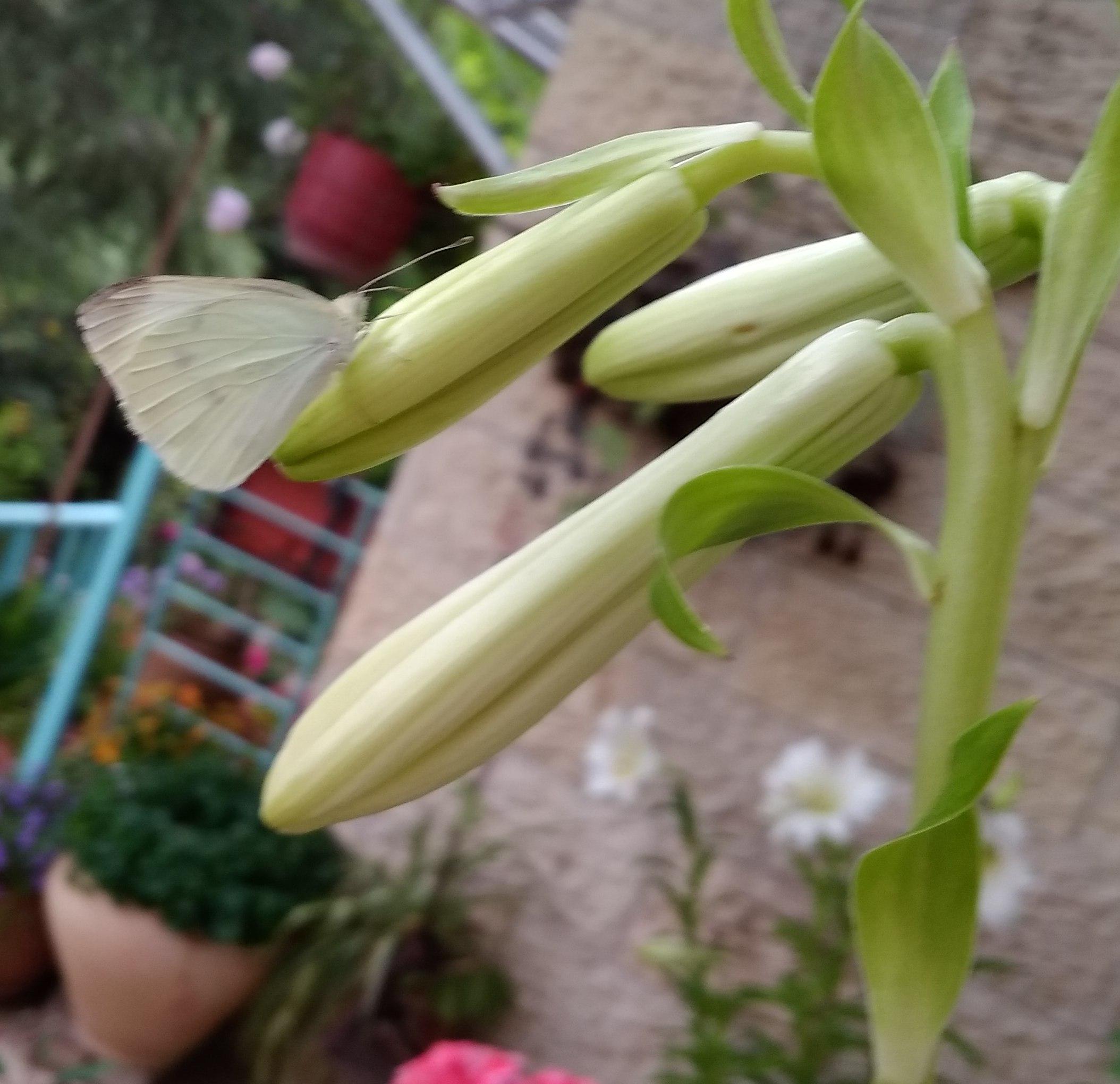 חדשות בוטניות: פרפר לבנין הכרוב בוחר לישון על פרח לבן של שושן