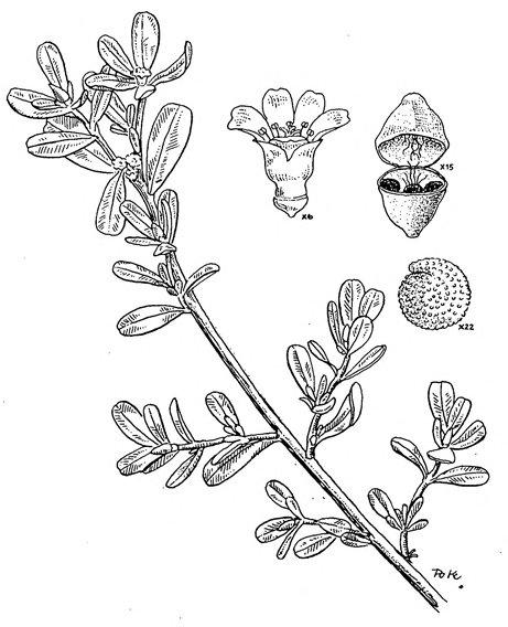 רגלת הגנה Portulaca oleracea מתוך פלורה פלסטינה (Flora Palaestina (Zohary , 1966. ציור: קטי תורן