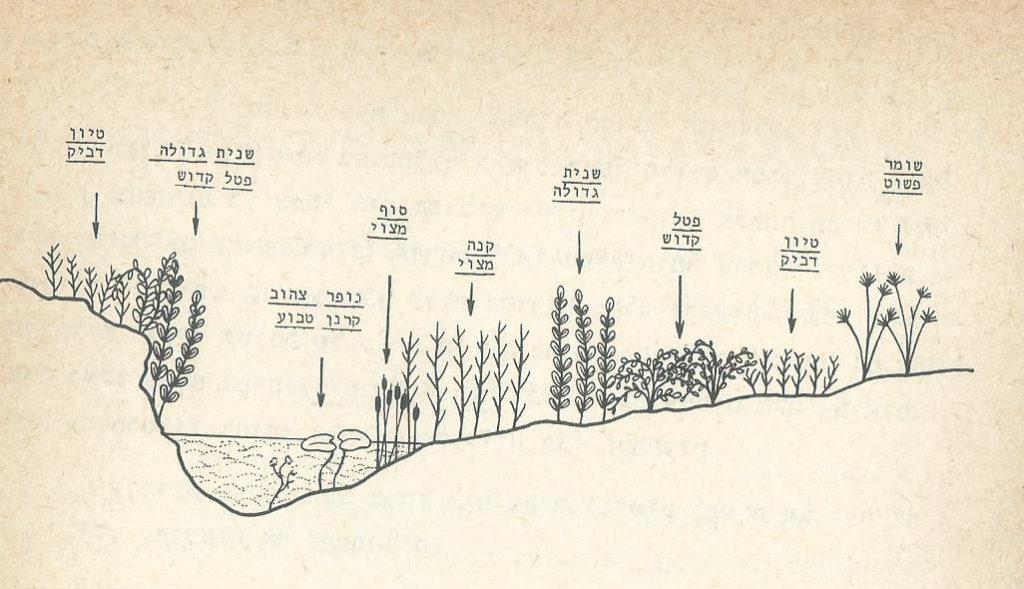 חתך סכמטי של הצומח במקווה מים. משמאל - גדה גבוהה, מימין - גדה נמוכה. מתוך: ויזל, פולק וכהן, 1978.