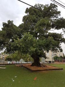 עץ אלון התבור שנסקר בפרדס חנה. צילם: עזרא ברנע©