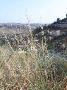חדשות בוטניות: מלעניאל ארוך דגן נדיר נמצא בליפתא, ירושלים