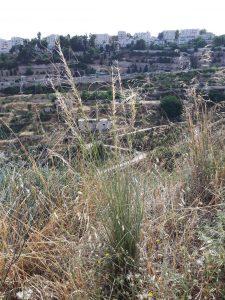 מלעניאל ארוך בליפתא במבואות ירושלים המערביים. צילם: נועם אליהו©