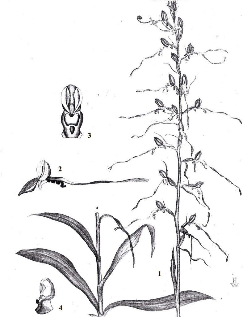רצועית הגליל. 1- מבט כללי; 2- פרח, מבט מהצד; 3- עמודון, מבט מלפנים; 4- עמודון, מבט מהצד; התרשים מתוך זהרי וווד, 1975,זר פרחי בר מוגנים.
