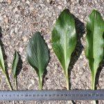 העלים של כל מיני האחילוף בארץ מימין לשמאל : א. החורן, א. הגליל, א קטן, א. הנגב, א. צר-עלים וא. זעיר. צילם: אורי פרגמן-ספיר©