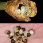 זרעי חלמונית גדולה.צילם: אורי פרגמן-ספיר©