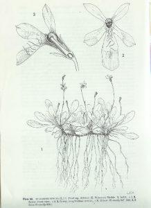 Lobelia minuta. מתוך הפלורה של קפריסין (Meikle, 1985)