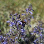 דבורת דבש בפרחי געדה מזרחית. צילם: חנן יחיאלי©