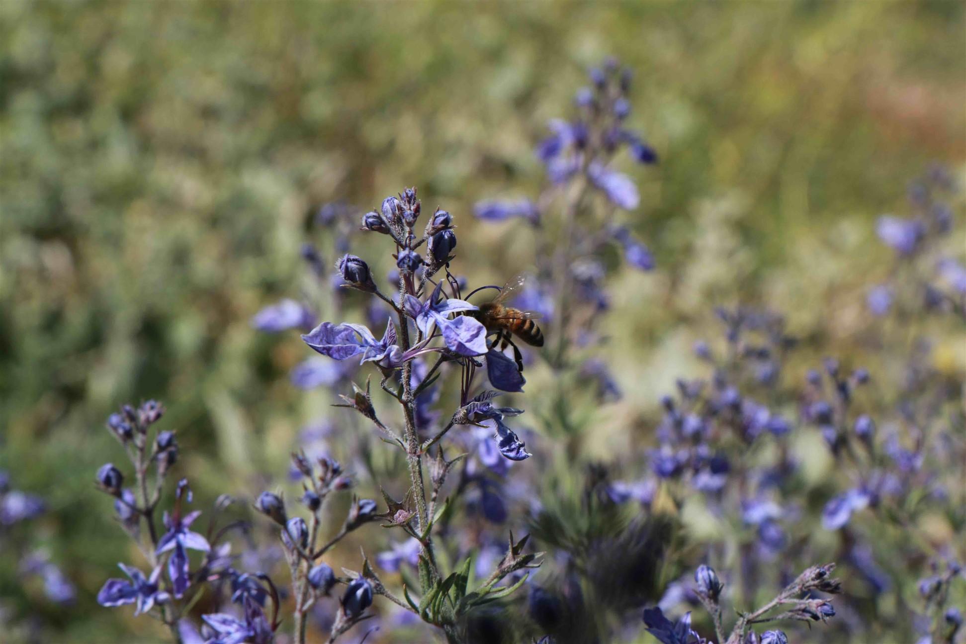 חדשות בוטניות: מלחמה במרומי החרמון : דבורי-דבש דוחקות את דבורי הבר הטבעיות בשמורת החרמון