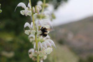 בומבוס החרמון בפרחי מרווה בוצינית;. צילם: חנן יחיאלי©