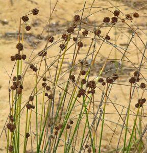 אגמון הכדורים. צילם: נעם עביצל, באדיבות אתר צמח השדה©
