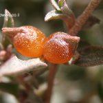 מלוח הענבות. צילם אלי ליבנה ©, באדיבות אתר צמח השדה