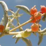 מלוח הענבות. צילם: שיר ורד©