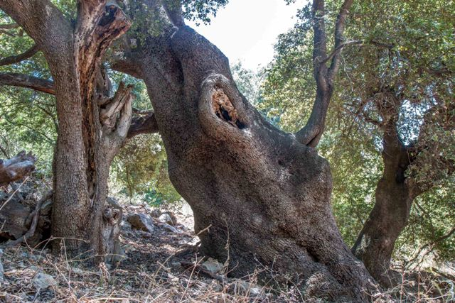 אלון הבתרים - בעל הגזע הרחב ביותר בישראל? צילם: חנן יחיאלי©