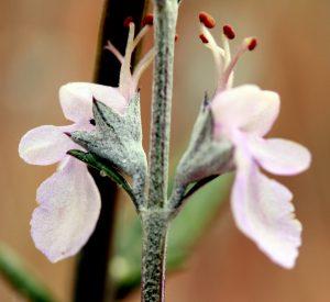 געדה כרתית - פרחים. צילמה: ערגה אלוני ©