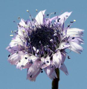 4 אבקנים באורך שונה מאוחים בלוע הפרח