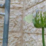 לבנין הכרוב ישן על תפרחת אגפנטוס( כאשר פרח השושן נבל . צילם אבי שמידע ©