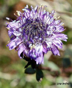 פרחים צפופים דו שפתניים בקרקפת