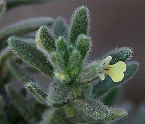 """חד שפה תמים. תמונה: אלי לבנה, באדיבות """"צמח השדה"""" ©"""