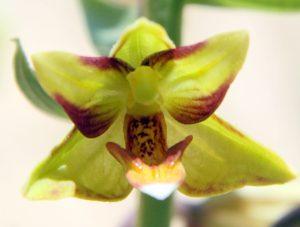 אברי הפרח של בן-חורש גדול בהגדלה. תמונה: ערגה אלוני ©