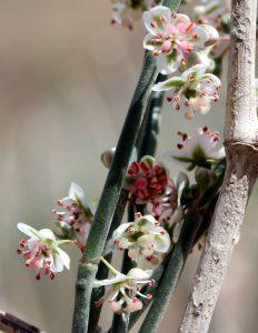 ענפים נושאי פרחים בשלבים שונים בשבטוט. תמונה: ערגה אלוני ©