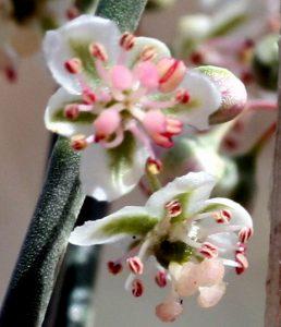 פרחים עם אבקנים מפותחים וצלקות העלי של שיח שבטוט. תמונה: ערגה אלוני ©