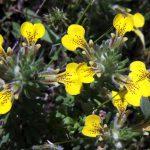 תפרחות דלילות פרחים של חד שפה מצוי. תמונה ערגה אלוני ©