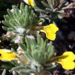 שעירות לוע הפרח. תמונה ערגה אלוני ©